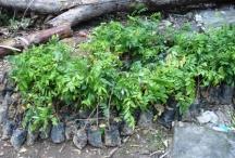 Dân Sài Thành đua nhau trồng cây sưa